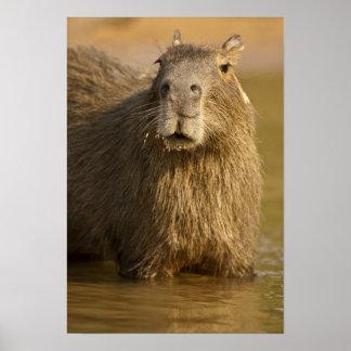Pantanal, Brazil, Capybara, Hydrochoerus Poster