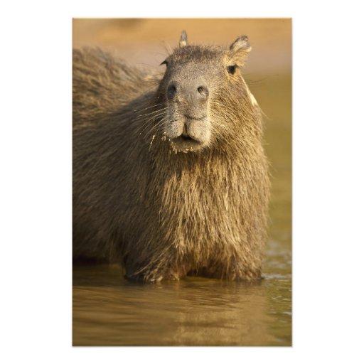 Pantanal, el Brasil, Capybara, Hydrochoerus Fotografía