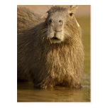 Pantanal, el Brasil, Capybara, Hydrochoerus Postal