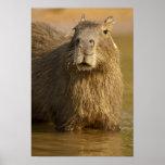 Pantanal, el Brasil, Capybara, Hydrochoerus Póster