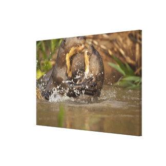 Pantanal nutria gigante de NP, el Brasil, río, Lienzo Envuelto Para Galerias