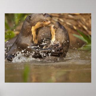 Pantanal nutria gigante de NP el Brasil río Posters