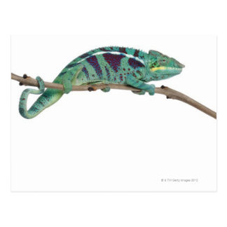 Panther Chameleon Nosy Be (Furcifer pardalis) Postcard
