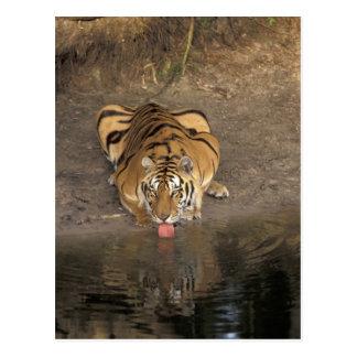 Panthera de consumición el Tigris del tigre de Ben Tarjetas Postales