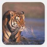 Panthera el Tigris del tigre de Asia, de la India, Pegatina Cuadrada