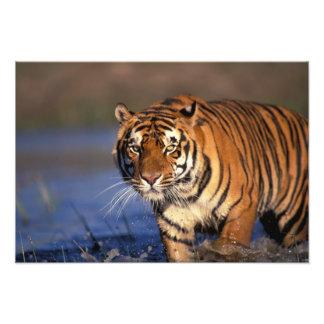 Panthera el Tigris del tigre de ASIA, la India, Be Fotografías