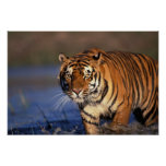 Panthera el Tigris del tigre de ASIA, la India, Be Posters