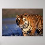 Panthera el Tigris del tigre de ASIA, la India, Be Póster