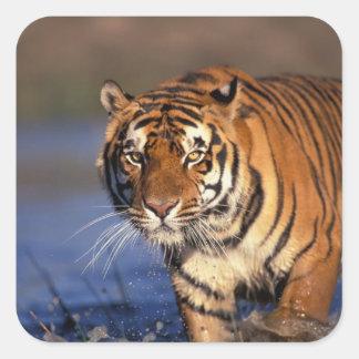 Panthera el Tigris del tigre de ASIA, la India, Pegatina Cuadrada
