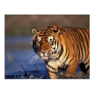 Panthera el Tigris del tigre de ASIA, la India, Postal