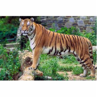 Panthera el Tigris el Tigris Fotoescultura Vertical