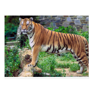 Panthera el Tigris el Tigris Postales