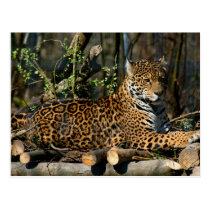 Panthera Jaguar Postcard