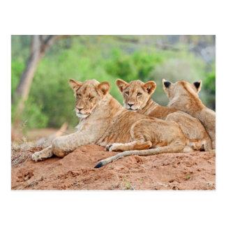 Panthera leo Kruger África del león Postal
