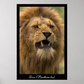 Panthera leo. Lion. Poster by cARTerART