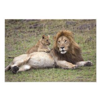 Panthera masculino leo del león) que descansa con  fotografia