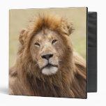 """Panthera masculino leo) que descansa, Masai Mara Carpeta 1 1/2"""""""