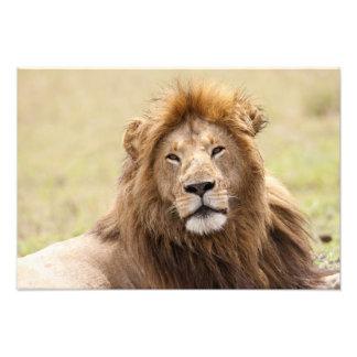 Panthera masculino leo) que descansa, Masai Mara d Cojinete