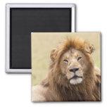 Panthera masculino leo) que descansa, Masai Mara d Imán Cuadrado