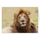 Panthera masculino leo) que descansa, Masai Mara d Tarjeta De Felicitación