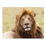 Panthera masculino leo) que descansa, Masai Mara Postal
