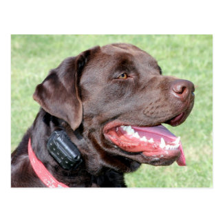 Panting Brown Dog Postcard
