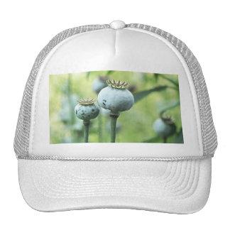 Papaver - cabezas de la semilla del somniferum gorro de camionero