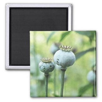 Papaver - cabezas de la semilla del somniferum iman de frigorífico