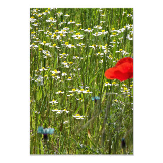 Papaver rhoeas, a red flower card