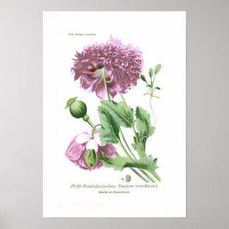 Papaver - somniferum (amapola de opio) póster