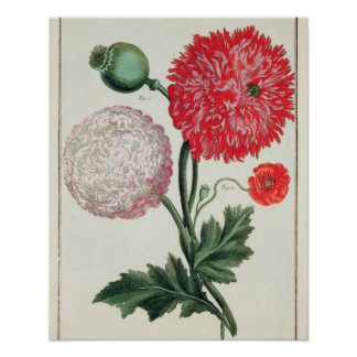 Papaver somniferum and Papaver rheas engraved by G Poster