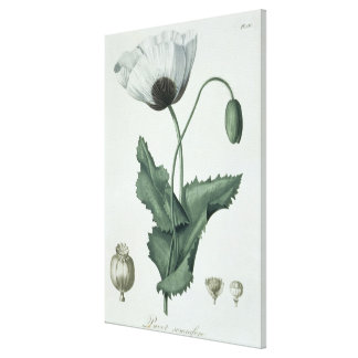 Papaver Somniferum from 'Phytographie Medicale' by Canvas Print