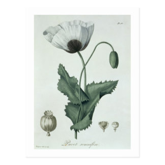 Papaver Somniferum from 'Phytographie Medicale' by Postcard