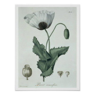 Papaver Somniferum from 'Phytographie Medicale' by Poster