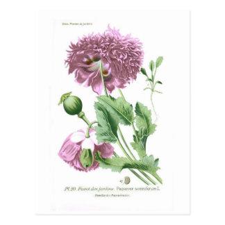 Papaver somniferum (Opium Poppy) Postcard