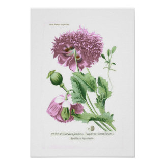 Papaver somniferum (Opium Poppy) Poster
