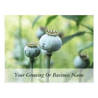 Papaver Somniferum Seed Heads Postcard