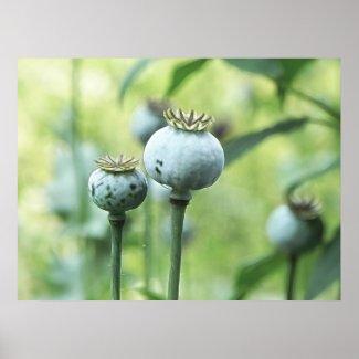 Papaver Somniferum Seed Heads