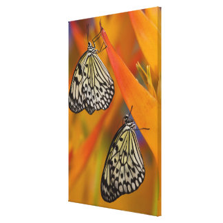 Paper Kite Butterflies (Idea leuconoe) on flower Stretched Canvas Prints