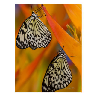 Paper Kite Butterflies (Idea leuconoe) on flower Postcard
