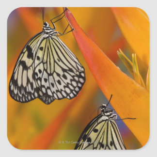Paper Kite Butterflies (Idea leuconoe) on flower Square Sticker