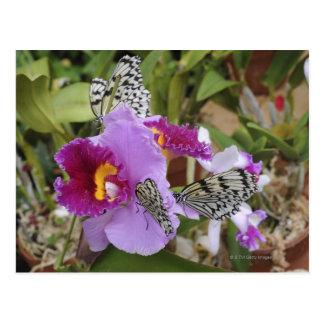 Paper Kite Butterflies (Idea leuconoe) on Postcard
