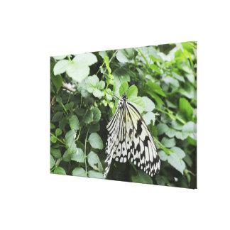 Paper Kite Butterfly (Idea leuconoe) on vine, Gallery Wrap Canvas
