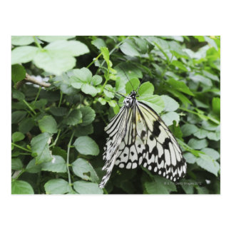 Paper Kite Butterfly (Idea leuconoe) on vine, Postcard