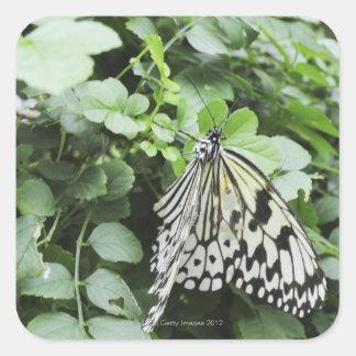 Paper Kite Butterfly (Idea leuconoe) on vine, Square Sticker