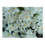 Paperwhite Narcissus Delicate White Flowers Postcard