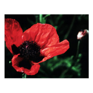 Papery Red Poppy Postcard