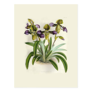 Paphiopedilum hirutissimum by W H Fitch Postcard