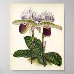 Paphiopedilum lawrenceanum print