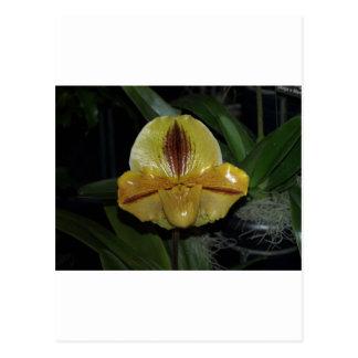 Paphiopedilum Orchid Postcard
